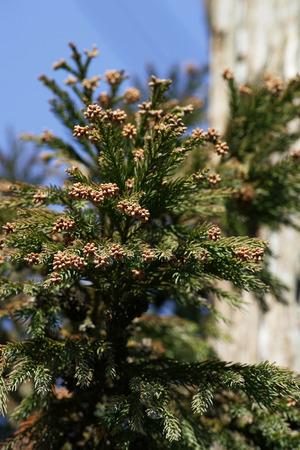 Cedar Pollen,Wakayama Prefecture,Japan. photo