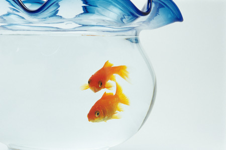 Goldfish in fishbowl photo