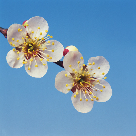 japanese apricot flower: Close Up Image of Japanese Apricot Flower