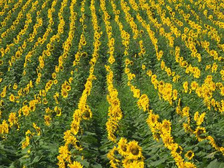 Field of sunflowers,full frame photo