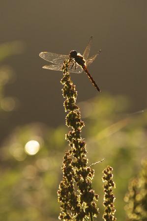 fukushima: Red dragonfly perching on grass,Kitashiobara village,Fukushima prefecture,Japan Stock Photo