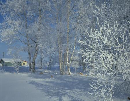 biei: Trees white with frost,Biei town,Hokkaido prefecture,Japan