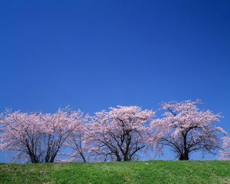 honshu: Cherry blossom trees,Yamagata Prefecture,Honshu,Japan