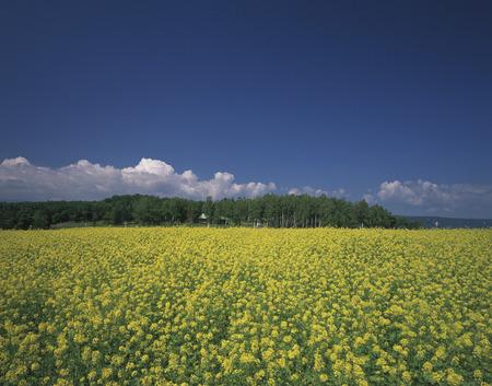 oilseed: Oilseed Rape Field Stock Photo