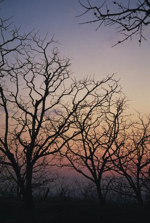 honshu: Tree at dusk,Nara Prefecture,Honshu,Japan