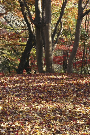 tokyo prefecture: Fallen leaves,Tokyo Prefecture,Honshu,Japan