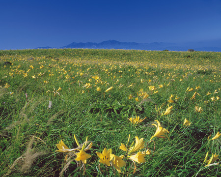 plateau of flowers: Field of yellow flowers in Kirigamine Plateau,Nagano prefecture,Japan  Stock Photo