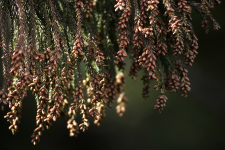 Cedar Pollen,Wakayama Prefecture,Japan photo