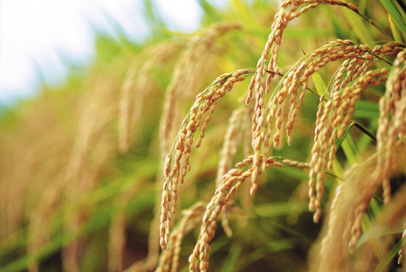 Rice plants,close up photo