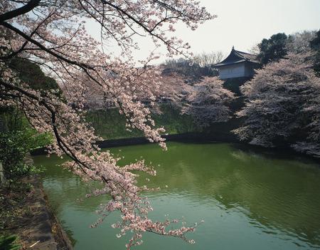honshu: Cherry blossom at Chidorigafuchi moat,Tokyo Prefecture,Honshu,Japan