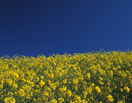 oilseed: Oilseed Rape Field Stock Photo