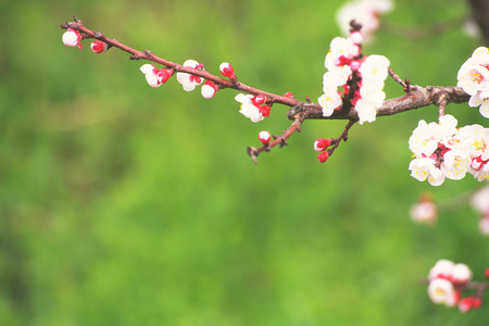 close up image: Close Up Image of Apricot Flower Stock Photo