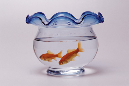 Goldfishes in waterbowl photo