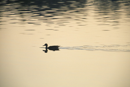 Duck swimming in water photo
