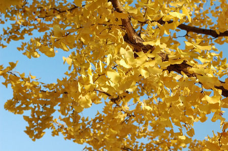 honshu: Ginkgo leaves in autumn,Tokyo Prefecture,Honshu,Japan Stock Photo