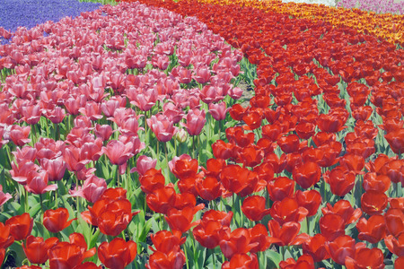 gifu: Tulip field,Gifu Prefecture,Honshu,Japan Stock Photo