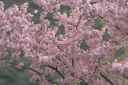 honshu: Cherry Blossom,Shizuoka Prefecture,Honshu,Japan