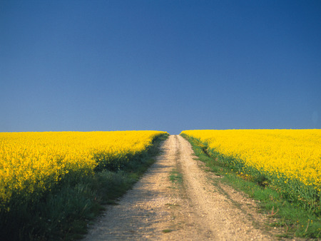 unpaved road: Unpaved road in oilseed rape field,France
