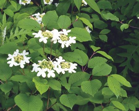 fukushima: Climax Hydrangea Flowers,Fukushima Prefecture,Japan