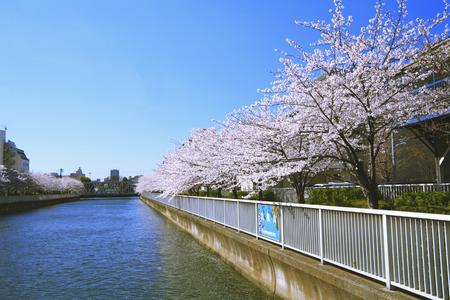 tokyo prefecture: Cherry trees next to river,Koto-ku,Tokyo Prefecture,Japan