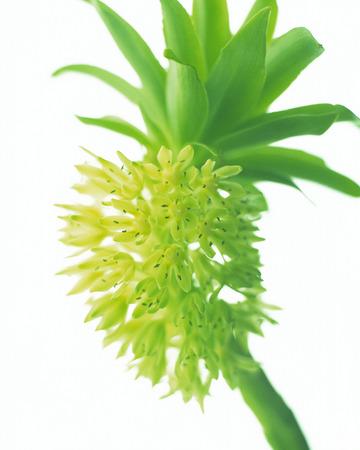 flowering plant: Green flowering plant Archivio Fotografico