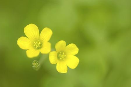 wood sorrel: Acedera amarilla
