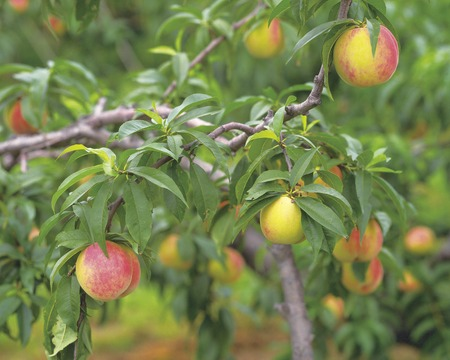fukushima: Peach Tree,Fukushima Prefecture,Japan.