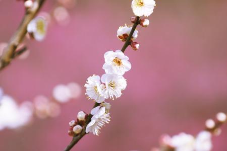 botanical gardens: Plum blossoms,Koshikawa Botanical Gardens,Tokyo,Japan