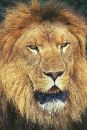 head close up: Lions head,close up
