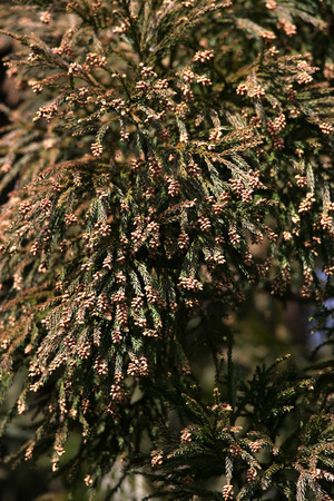 Cedar Pollen,Wakayama Prefecture,Japan. photo