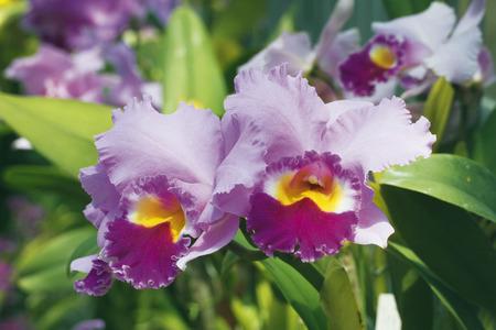 cattleya: Cattleya Flowers Stock Photo