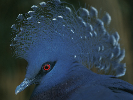 Victoria Crowned Pigeon,Kanagawa Prefecture,Japan photo