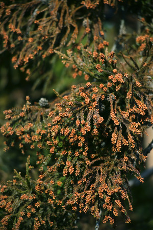 Japanese Cedar (Cryptomeria japonica) tree,close-up photo