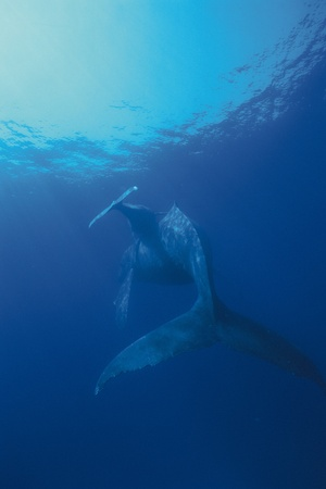humpback whale, Megaptera novaeangliae photo