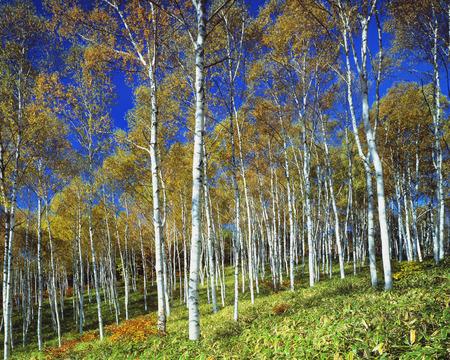 foret de bouleaux: For�t de bouleaux en automne