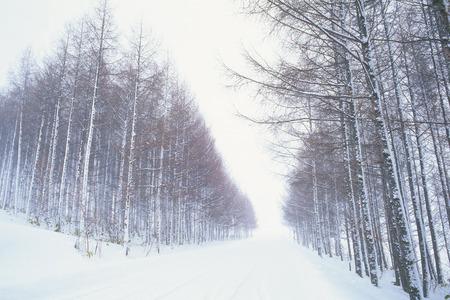 foret de bouleaux: For�t de bouleaux dans Hokkaido