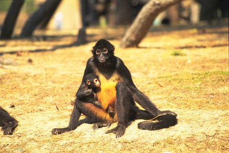 Black spider monkey photo