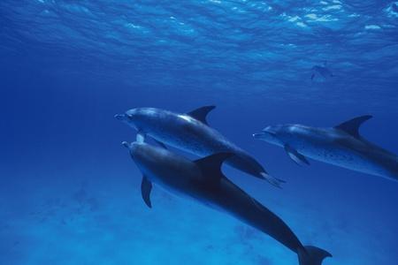 porpoise: bridled porpoise