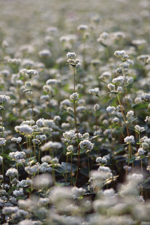 Buckwheat flowers photo