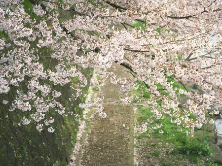 riverbed: Cherry blossom of Asagawa riverbed