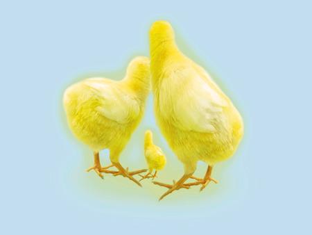 chick: Chick., CG