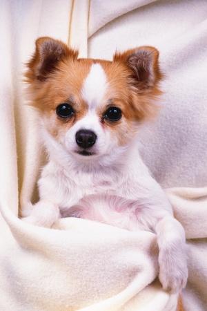 snugly: Chihuahua