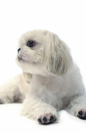 shihtzu: Close-up of dog, shihtzu