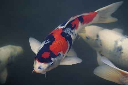 Colored carp photo