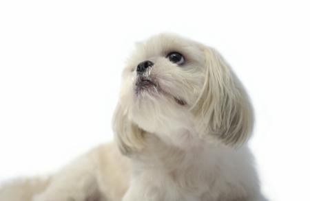 shihtzu: Dog sitting and looking up, Shihtzu Stock Photo