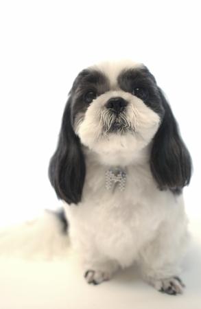 shihtzu: Dog, Shihtzu