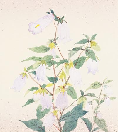 campanula: Illustration of campanula punctata Stock Photo