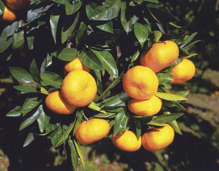 odawara: Mandarin orange Stock Photo