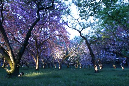nijo: Nijo Castle cherry blossoms