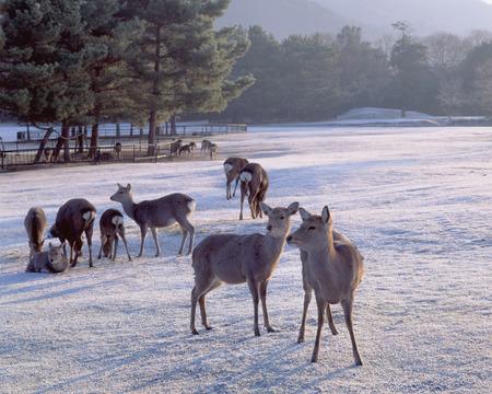 nara park: Nara Park and deer in morning